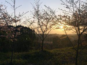 早朝から桜。